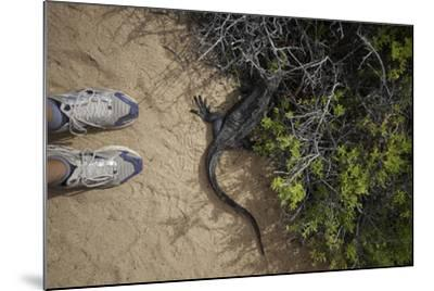 A Tourist Observes a Galapagos Land Iguana on a Trail-Jad Davenport-Mounted Photographic Print