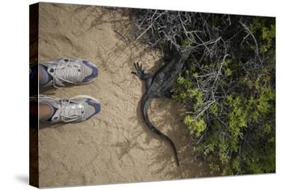 A Tourist Observes a Galapagos Land Iguana on a Trail-Jad Davenport-Stretched Canvas Print
