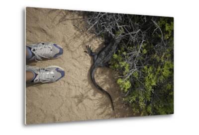 A Tourist Observes a Galapagos Land Iguana on a Trail-Jad Davenport-Metal Print
