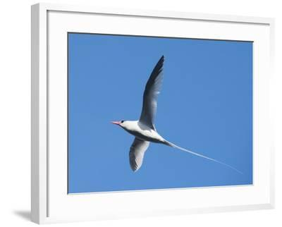 A Red-Billed Tropic Bird Flying-Michael Melford-Framed Photographic Print