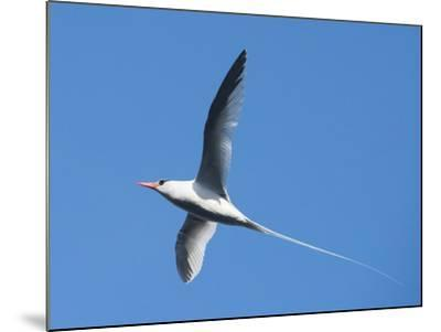 A Red-Billed Tropic Bird Flying-Michael Melford-Mounted Photographic Print