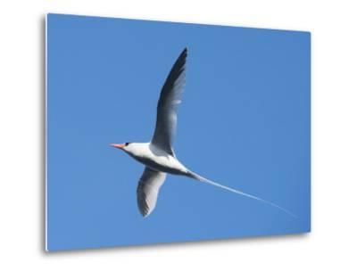 A Red-Billed Tropic Bird Flying-Michael Melford-Metal Print