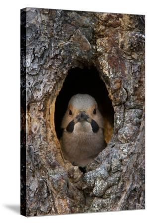 A Northern Flicker in the Hollow of a Tree-Michael Quinton-Stretched Canvas Print