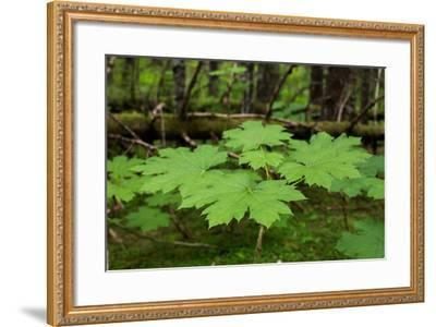 A Close Up of Leaves of a Devils Club, Oplopanax Horridus-Erika Skogg-Framed Photographic Print