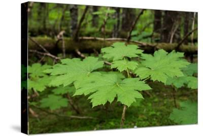 A Close Up of Leaves of a Devils Club, Oplopanax Horridus-Erika Skogg-Stretched Canvas Print