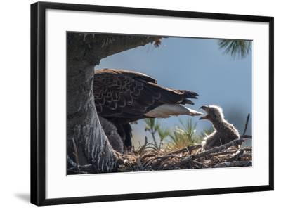 Bald Eagle, Haliaeetus Leucocephalus, on Nest with its Chick-Tom Murphy-Framed Photographic Print