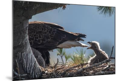 Bald Eagle, Haliaeetus Leucocephalus, on Nest with its Chick-Tom Murphy-Mounted Photographic Print