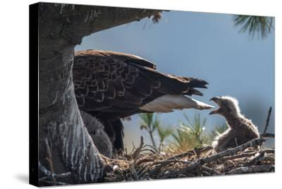 Bald Eagle, Haliaeetus Leucocephalus, on Nest with its Chick-Tom Murphy-Stretched Canvas Print