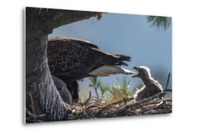 Bald Eagle, Haliaeetus Leucocephalus, on Nest with its Chick-Tom Murphy-Metal Print