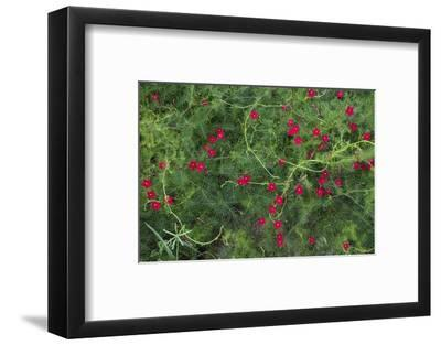 A Cypress Vine or Ipomoea Morning Glory Grows in the Souillac Marine Graveyard-Gabby Salazar-Framed Photographic Print