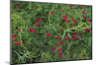 A Cypress Vine or Ipomoea Morning Glory Grows in the Souillac Marine Graveyard-Gabby Salazar-Mounted Photographic Print