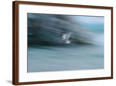 A Long Exposure of an Arctic Tern Flying over Glacier Bay in Iceland-Keith Ladzinski-Framed Photographic Print