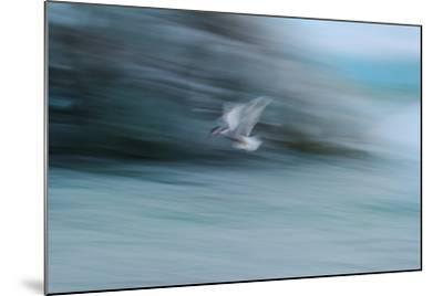 A Long Exposure of an Arctic Tern Flying over Glacier Bay in Iceland-Keith Ladzinski-Mounted Photographic Print