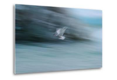 A Long Exposure of an Arctic Tern Flying over Glacier Bay in Iceland-Keith Ladzinski-Metal Print