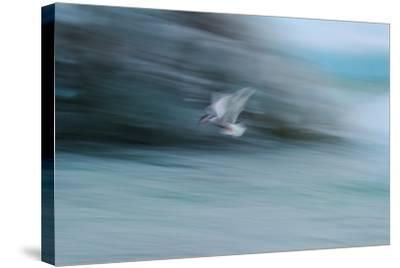 A Long Exposure of an Arctic Tern Flying over Glacier Bay in Iceland-Keith Ladzinski-Stretched Canvas Print