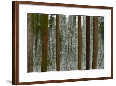 A Pine Forest in Yellowstone National Park-Raul Touzon-Framed Photographic Print