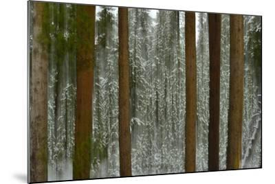 A Pine Forest in Yellowstone National Park-Raul Touzon-Mounted Photographic Print