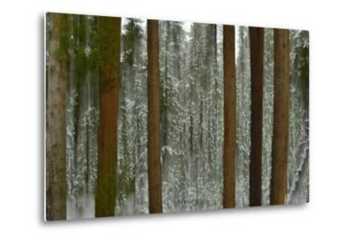 A Pine Forest in Yellowstone National Park-Raul Touzon-Metal Print