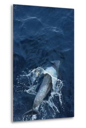 A Dolphin Swimming in the Clear Blue Waters of the Pacific Ocean-Jonathan Kingston-Metal Print