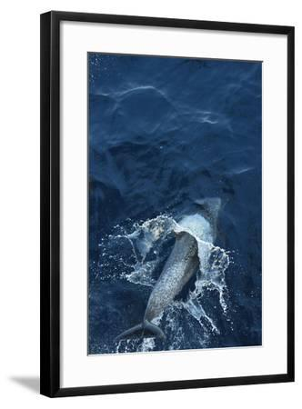 A Dolphin Swimming in the Clear Blue Waters of the Pacific Ocean-Jonathan Kingston-Framed Photographic Print