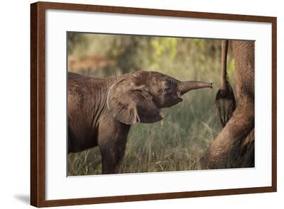 A Young Elephant Calf, Loxodonta African, Reaching Toward its Mother with its Tiny Trunk-Matthew Hood-Framed Photographic Print