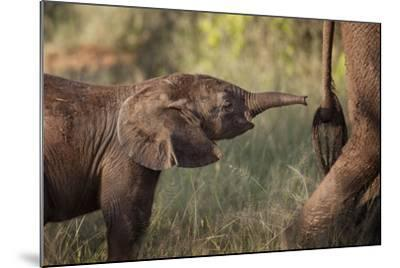 A Young Elephant Calf, Loxodonta African, Reaching Toward its Mother with its Tiny Trunk-Matthew Hood-Mounted Photographic Print