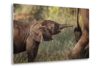 A Young Elephant Calf, Loxodonta African, Reaching Toward its Mother with its Tiny Trunk-Matthew Hood-Metal Print