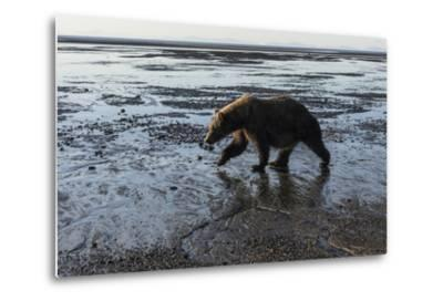 Brown Bear Walking at Silver Salmon Creek Lodge in Lake Clark National Park-Charles Smith-Metal Print
