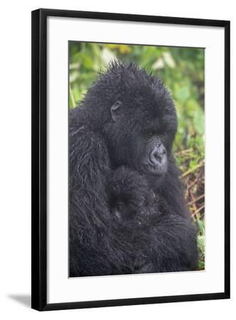 Mountain Gorilla, Gorilla Beringei Beringei, with its Young-Tom Murphy-Framed Photographic Print