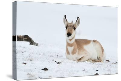 Pronghorn, Antilocapra Americana, Resting in the Snow-Tom Murphy-Stretched Canvas Print