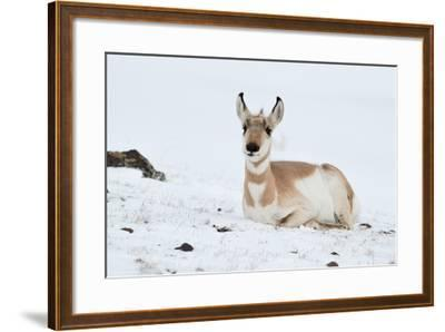 Pronghorn, Antilocapra Americana, Resting in the Snow-Tom Murphy-Framed Photographic Print