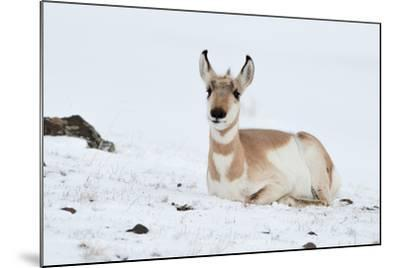 Pronghorn, Antilocapra Americana, Resting in the Snow-Tom Murphy-Mounted Photographic Print