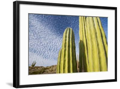 Close Up of Cacti Against a Cloud Studded Blue Sky-Michael Melford-Framed Photographic Print