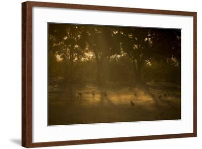 A Pack of African Wild Dogs, Lycaon Pictus, Walk and Play in the Dust at Sunset-Beverly Joubert-Framed Photographic Print