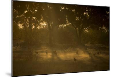 A Pack of African Wild Dogs, Lycaon Pictus, Walk and Play in the Dust at Sunset-Beverly Joubert-Mounted Photographic Print
