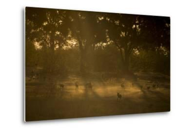 A Pack of African Wild Dogs, Lycaon Pictus, Walk and Play in the Dust at Sunset-Beverly Joubert-Metal Print