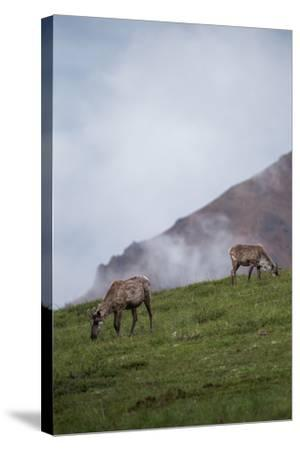 Two Caribou, Rangifer Tarandus, Graze in Denali National Park-Erika Skogg-Stretched Canvas Print