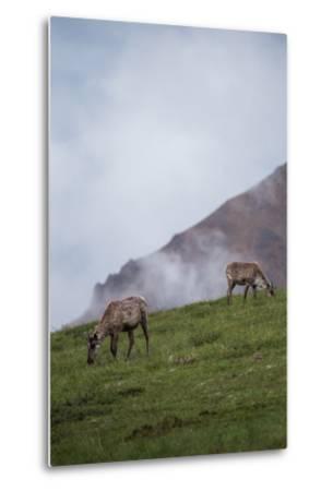 Two Caribou, Rangifer Tarandus, Graze in Denali National Park-Erika Skogg-Metal Print