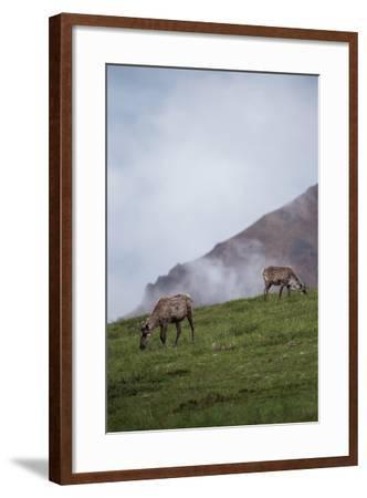 Two Caribou, Rangifer Tarandus, Graze in Denali National Park-Erika Skogg-Framed Photographic Print