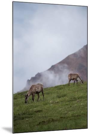 Two Caribou, Rangifer Tarandus, Graze in Denali National Park-Erika Skogg-Mounted Photographic Print