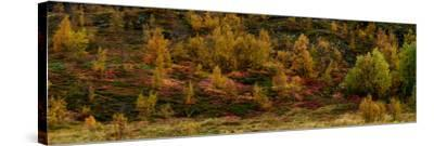 Fall Foliage in Thingvellir National Park, Iceland-Raul Touzon-Stretched Canvas Print