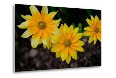 Close-Up of Yellow Cone Flowers-Paul Damien-Metal Print