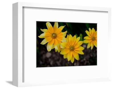 Close-Up of Yellow Cone Flowers-Paul Damien-Framed Photographic Print
