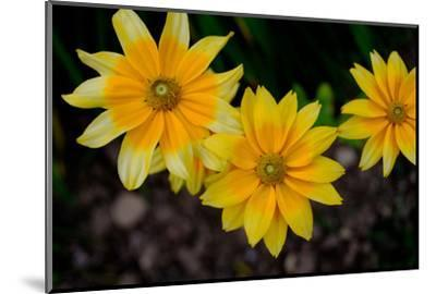 Close-Up of Yellow Cone Flowers-Paul Damien-Mounted Photographic Print
