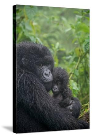 Mountain Gorilla, Gorilla Beringei Beringei, Embracing its Young-Tom Murphy-Stretched Canvas Print
