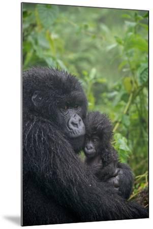 Mountain Gorilla, Gorilla Beringei Beringei, Embracing its Young-Tom Murphy-Mounted Photographic Print