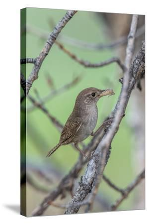 House Wren Perching on the Branch of a Tree with a Grasshopper in its Mouth-Tom Murphy-Stretched Canvas Print