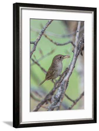 House Wren Perching on the Branch of a Tree with a Grasshopper in its Mouth-Tom Murphy-Framed Photographic Print