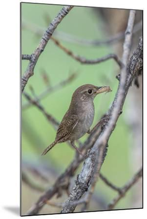 House Wren Perching on the Branch of a Tree with a Grasshopper in its Mouth-Tom Murphy-Mounted Photographic Print