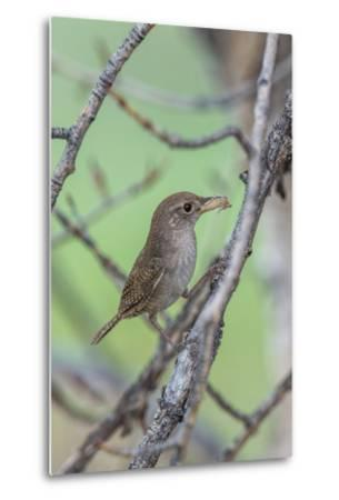 House Wren Perching on the Branch of a Tree with a Grasshopper in its Mouth-Tom Murphy-Metal Print